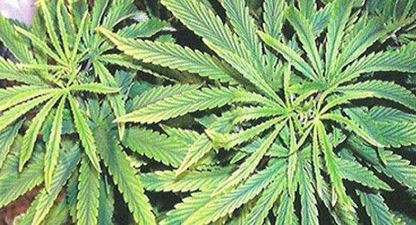 Iron Deficiencies in Marijuana Plants
