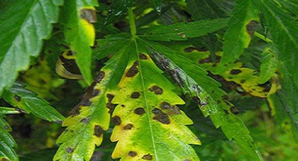 Leaf septoria on marijuana