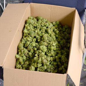 Marijuana bud on box
