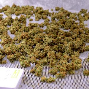 Marijuana dry buds