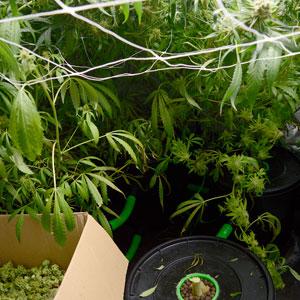 Cutting marijuana step 1