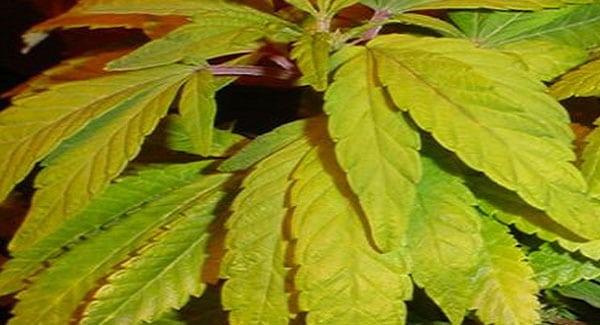 Nitrogen Deficiencies in Marijuana Plants