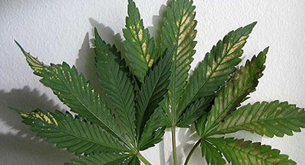 pH Fluctuations in Marijuana plants