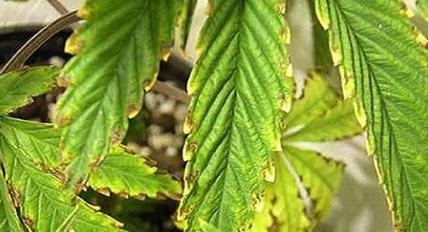 Potassium Deficiencies in Marijuana Plants