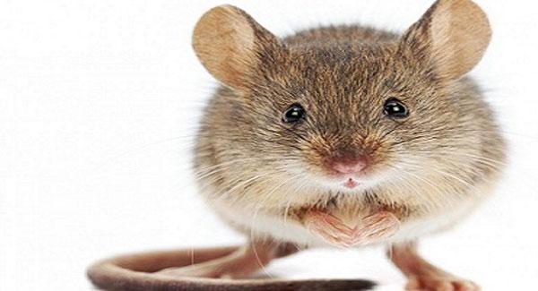 Rats and Mice on Marijuana Plants