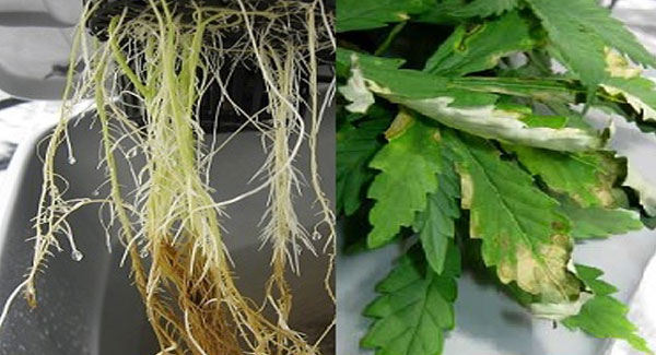 Root rot on Marijuana