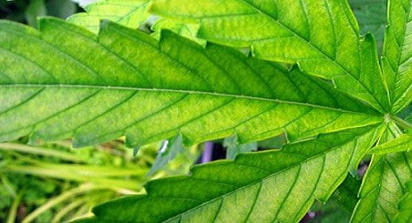 Sulfur Deficiencies in Marijuana Plants