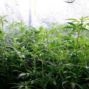 Before marijuana super cropping