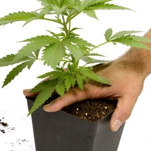 Transplanting marijuana 1