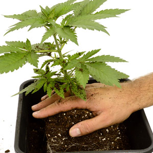 Transplanting marijuana 3