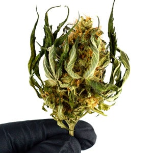 Trimming dry buds