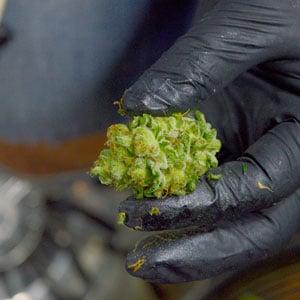 Tumble marijuana bud result