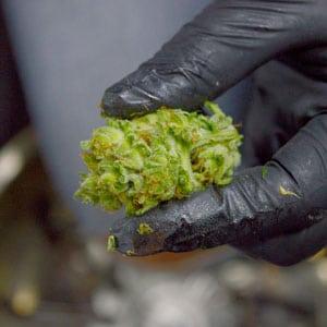 Tumble marijuana bud result focus