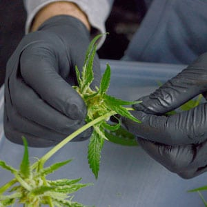 Tumble marijuana step 1