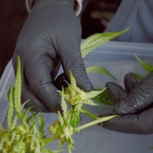 Tumble marijuana step 3