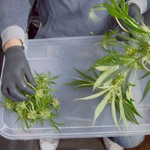 Tumble marijuana step 5