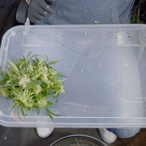 Tumble marijuana step 6