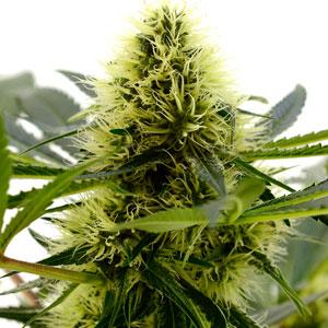 Week 6 marijuana buds