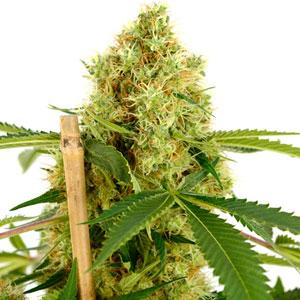 Week 8 marijuana buds