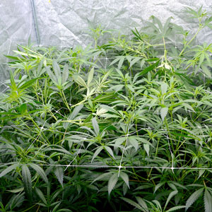 After marijuana plants super cropping
