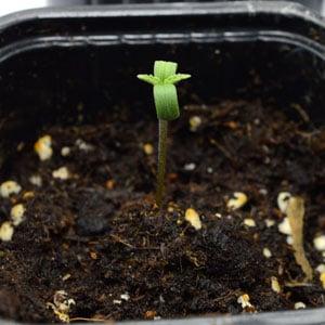 1 day seedling marijuana plant
