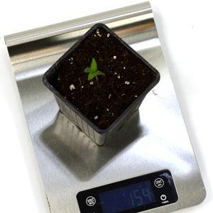 1 day seedling watertip