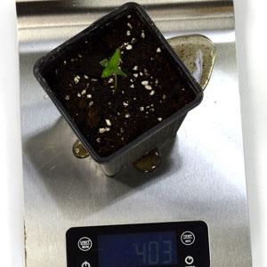 1 day seedling watertip 3