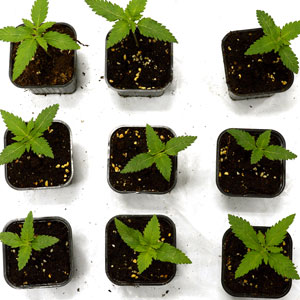 10 days marijuana seedling