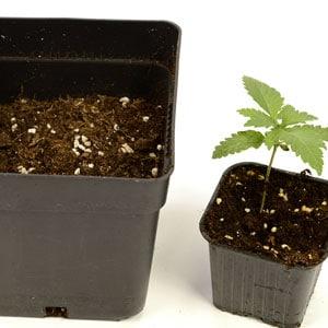 12 days seedling fill larger pot