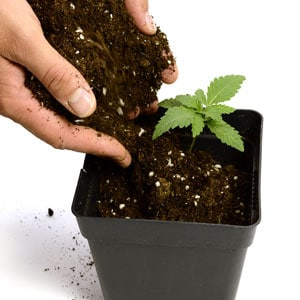 12 days seedling transplant to new pot