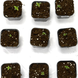 3 days seedling