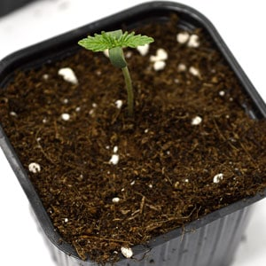 3 days seedling marijuana plant