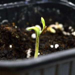 3 days seedling leaves can unfold