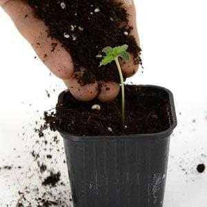 3 days seedling add some soil