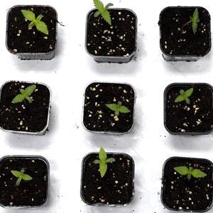 5 days marijuana seedling