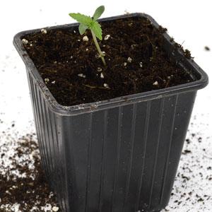 5 days seedling transplant to larger pot
