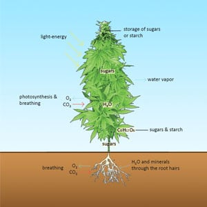 Absorption of nutrients transportation in the plant