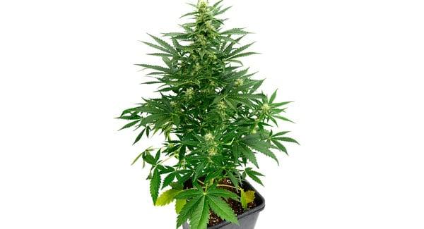 Different types of marijuana autoflower