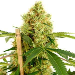 Basic marijuana bud