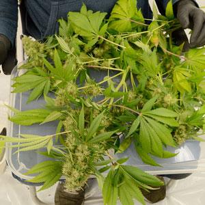 Trimming take whole plant