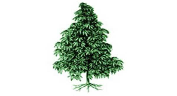 Indica plant