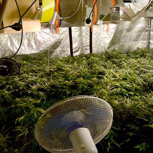 Indoors Growing Marijuana Plant