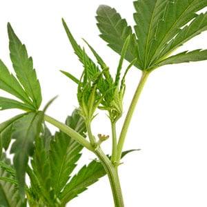 New shoots marijuana plant day 3