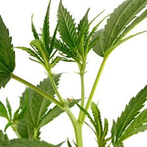 New shoots marijuana plant day 5