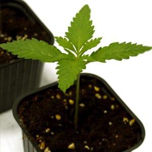 Marijuana seedling in 10 days