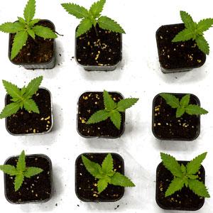 Seedling in 10 days