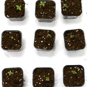 Seedling in 3 days