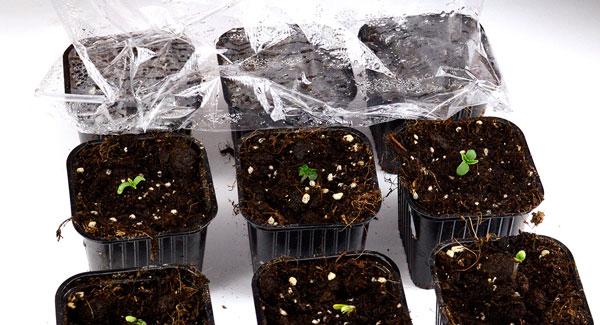 Take the foil off the pot of marijuana seedling