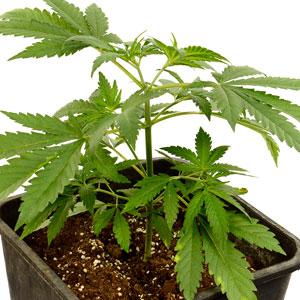 Topping marijuana plant day 5
