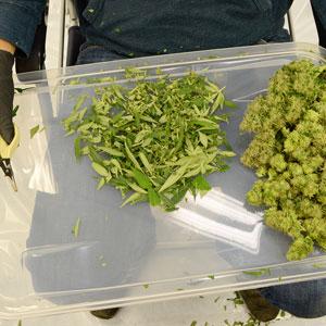 Trimming marijuana plant